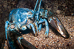 Northern Lobster blue color phase full body view facing camera