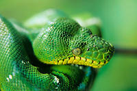snake, emerald tree boa, Corallus caninus, South America, close up of head (c)