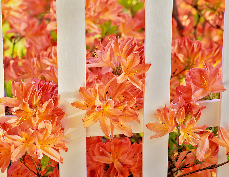 Orange azalea with white picket fence. Near Alpine, Oregon