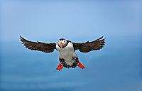 Atlantic Puffin in flight, flying toward camera with wings outstretched