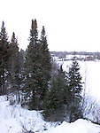 White Spruce trees, pices glaucus<br />
