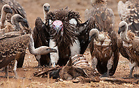 The Lappet-faced Vulture is certainly the biggest (and perhaps ugliest) of Tanzania's vulture species. Here, one barges in on a carcass and steals it from some White-backed Vultures.