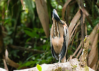 Bare-throated Tiger-Heron, Tigrisoma mexicanum, preens its feathers while perched on a branch beside the Tortuguero River (Rio Tortuguero) in Tortuguero National Park, Costa Rica