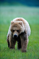 The Kodiak bear (Ursus arctos middendorffi), also known as the Kodiak brown bear or the Alaskan grizzly bear or American brown bear, occupies the coastal areas and islands of the Kodiak Archipelago in South-Western Alaska. It is the largest subspecies of brown bear.  This young cub just followed whereever mom wanted to go.<br /> Halo Bay, Katmai National Park.