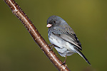Dark-eyed junco perched in a speckled alder in northern Wisconsin.