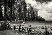 Horse in pasture with fence and Cook pines.Lanai, Hawaii