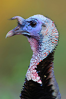 Subadult male Wild Turkey (Meleagris gallopavo) in alternate (breeding) plumage. Hidalgo County, Texas. March.