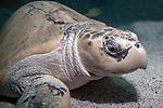 Kemps Ridley Sea Turtle medium shot sitting on sand bottom