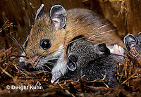 MU16-014z   White-Footed Mouse - nursing 19 day old young -  Peromyscus leucopus