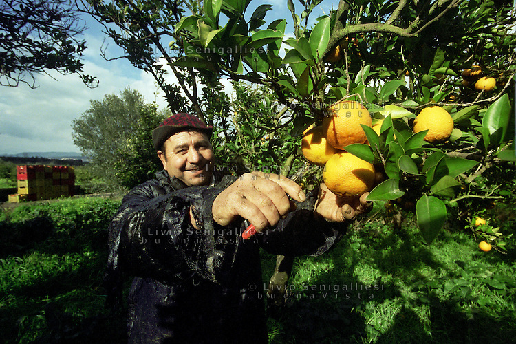 Rosarno / Calabria / Italia<br /> Immigrato proveniente dall'Europa dell'est impegnato nella raccolta di agrumi nella Piana di Gioia Tauro.<br /> Foto Livio Senigalliesi