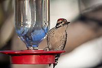Ladder-backed Woodpecker (Picoides scalaris cactophilus), male on a hummingbird feeder at Desert Meadows Park, Green Valley, Arizona.