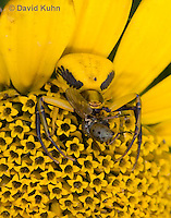 0114-1001  Crab Spider Consuming Fly, Misumenoides spp.  © David Kuhn/Dwight Kuhn Photography