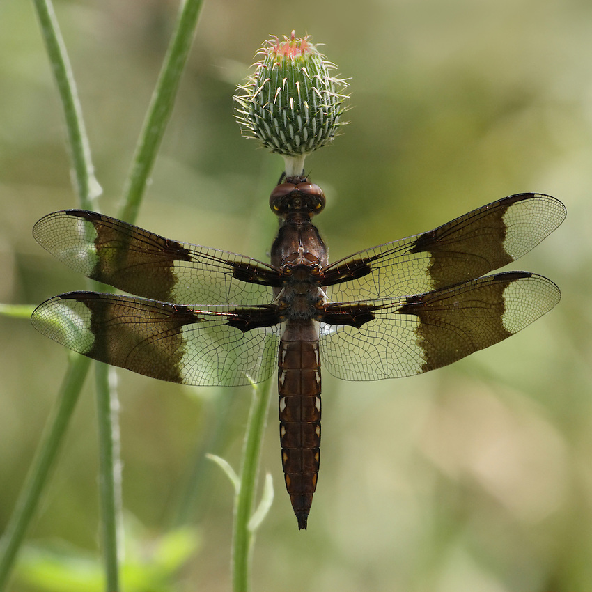 Immature Common Whitetail or Long-tailed Skimmer male.