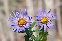 Aster oblongifolius 'Raydon's Favorite' (left), 'Fanny's (right) two different cultivars, nativars, side by side comparison, compared together aka more properly Symphyotrichum oblongifolium