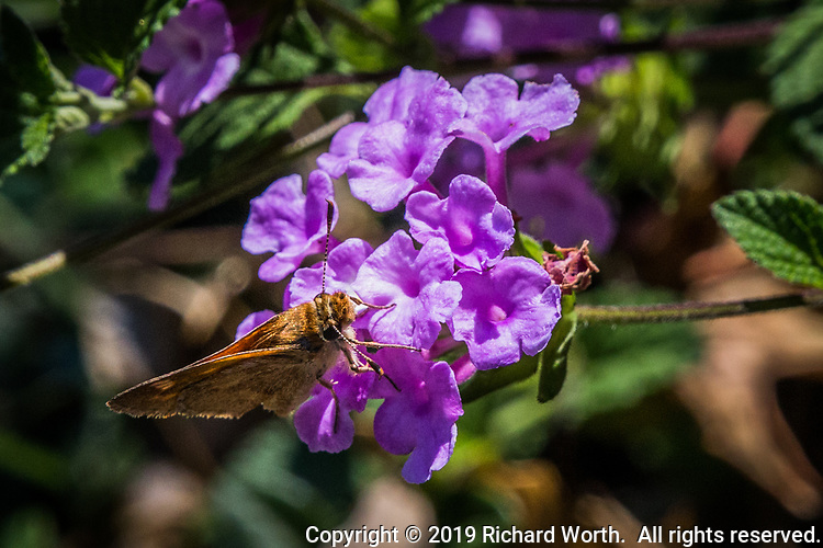 A brown moth poses on a cluster of purple flowers
