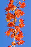 Vine maple, Washington