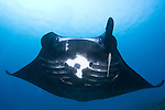 Manta ray missing a cephalic fin, Manta birostris, Raja Ampat, West Papua, Indonesia, Pacific Ocean