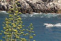 - Portovenere (La Spezia), flower of agave and coast....- Portovenere (La Spezia), fiori di agave e costa