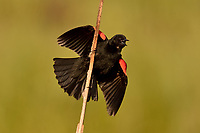 Male Red-winged Blackbird--mating/territorial display.  Klamath Marsh National Wildlife Refuge, Oregon.
