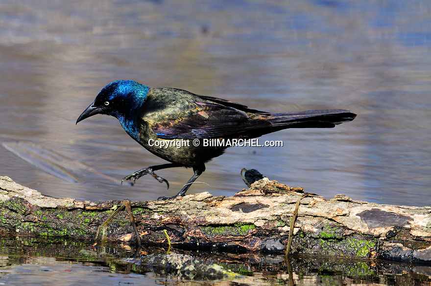 00470-002.05 Common Grackle male is on a log over water as it searched for food.