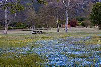Nemophila menziesii,  Baby Blue Eyes flowering native wildflowers in The Artist's Palette meadow drifts among Sycamores ( Platanus racemosa ), Southern California Montane Botanic Garden