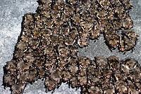 Vale vleermuis (Myotis myotisi) massaal winterslapend in Nietoperek, Polen