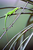 A green anol sits on a palm frond in Jonathan Dickenson State Park in Jupiter Florida, May 1, 2002.