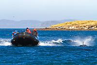 Peale's dolphin, Lagenorhynchus australis, bow-riding, New Island, Falkland Islands, South Atlantic Ocean