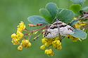 Barberry Carpet Moth (Pareulype berberata) on Barberry (Berberis vulgaris)