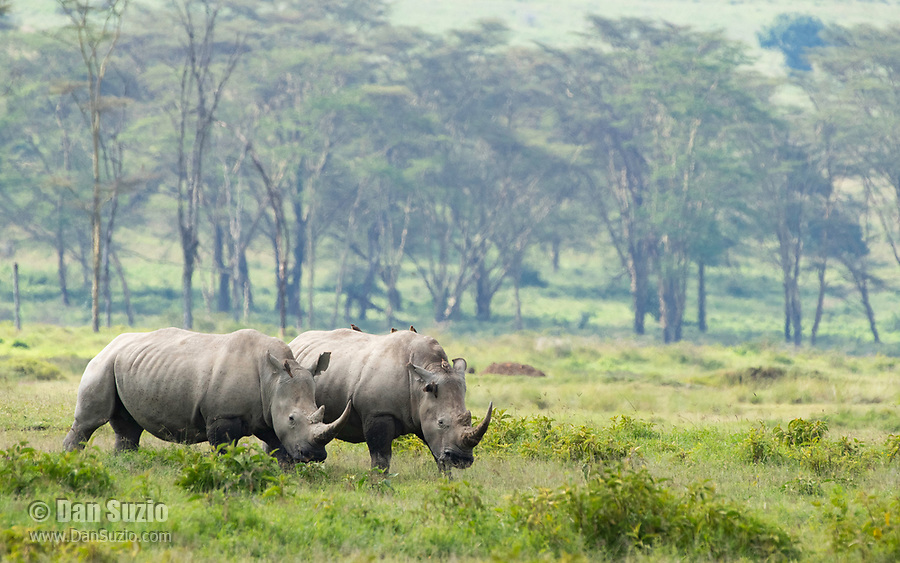 Two Southern White Rhinoceroses, Ceratotherium simum simum, in Lake Nakuru National Park, Kenya. Several Red-billed Oxpeckers, Buphagus erythrorhynchus, are perched on their backs.