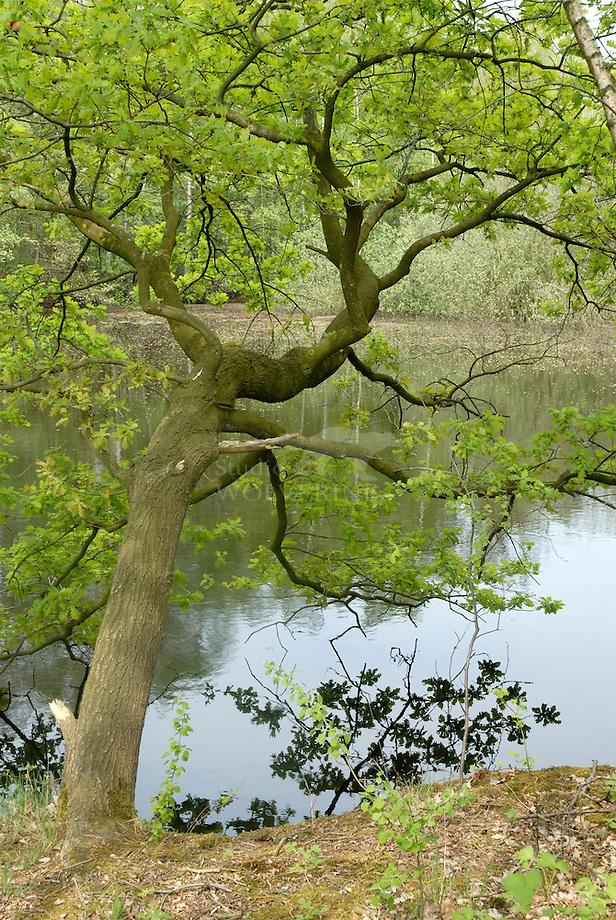 Zomereik (Quercus robur), Leemputten