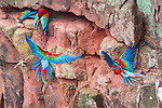 Red-and-Green Macaws or Green-winged Macaws (Ara chloropterus) (Family Psittacidae) flying into cliff nest cavity. Buraco das Araras (Sinkhole of the Macaws), Jardim, Mato Grosso do Sul, Brazil. September.