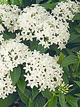 Egyptian Star Cluster, Pentas Grafitti White