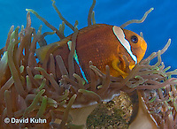 0320-1114  Clark's anemonefish (Yellowtail clownfish), Amphiprion clarkii, with Bulb-tipped Anemone, Entacmaea quadricolor  © David Kuhn/Dwight Kuhn Photography.