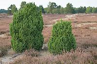 Gemeiner Wacholder, Heide-Wacholder, Heidewacholder, Juniperus communis, Common Juniper