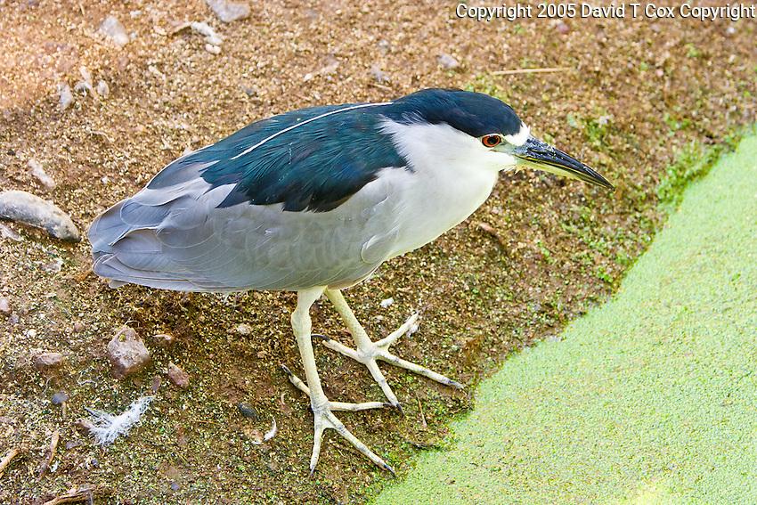 Black-Crowned Night-Heron, Arizona, USA