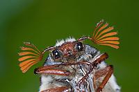 Gemeiner Maikäfer, Portrait, Porträt, Männchen, Feld-Maikäfer, Feldmaikäfer, Mai-Käfer, Melolontha melolontha, frisst an Eiche, maybeetle, may-beetle, common cockchafer, maybug