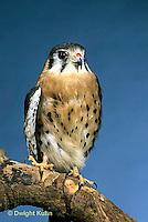 HK01-019z  Sparrow Hawk - Falco sparverius