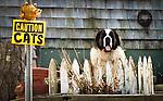 """St. Bernard stands watch next to """"Beware of Cats"""" sign"""