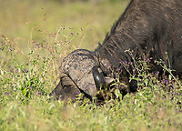 Flies swarm around the horns of a Cape Buffalo, Syncerus caffer caffer, in Lake Nakuru National Park, Kenya.