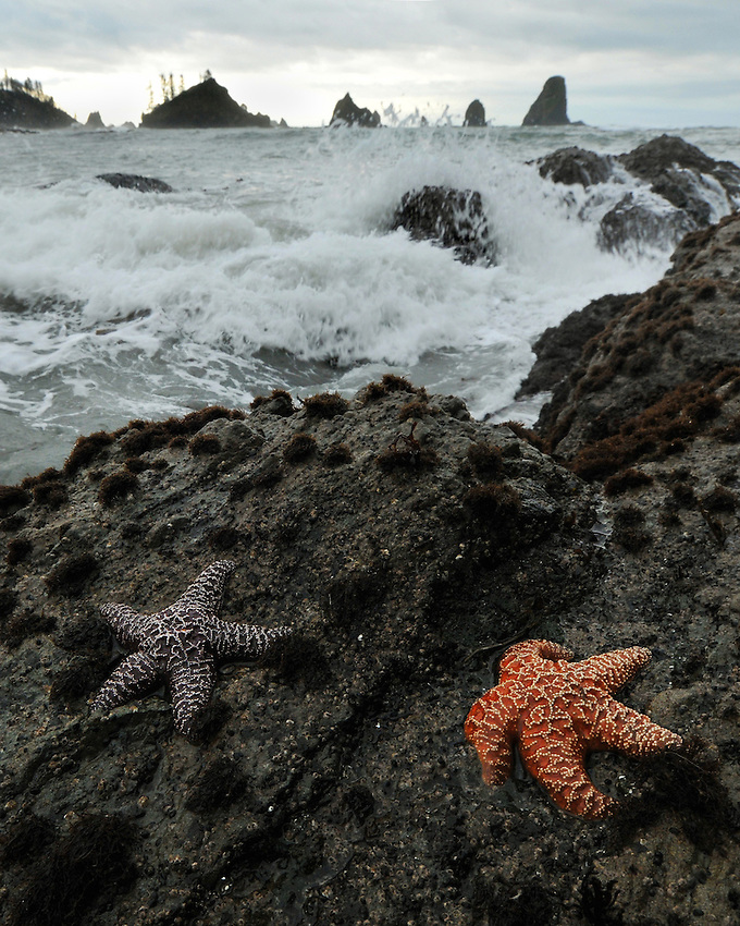 Starfish in surf at Third Beach, Olympic National Park, Washington.