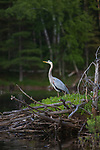 Great blue heron on the Chippewa Flowage in northern Wisconsin.