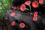 Cup Fungi (Cookenia sp.) growing on decaying log in lowland Dipterocarp forest. Danum Valley, Sabah, Borneo.