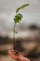 Semente da Andiroba Árvore de grande porte, que chega a atingir 30 metros de altura. O fuste (parte que vai do solo aos primeiros galhos) é cilíndrico e reto. A casca é grossa, tem sabor amargo e desprende-se facilmente em grandes placas. Copa de tamanho médio e bastante ramosa. A inflorescência é uma panícula (espécie de cacho). As flores têm cor creme e o fruto é uma cápsula que se abre quando cai no chão, liberando de quatro a seis sementes. Floresce de agosto a outubro na Amazônia e frutifica de janeiro a maio. Porém, há muitas variações dependendo da região.É nativa da Amazonia.O oleo e as gorduras são extraidos e utilizados para a produção de: REPELENTES DE INSETOS, ANTISSEPTICOS, CICATRIZANTES e ANTIINFLAMATORIOS.Salvaterra, Marajó, Pará, BrasilFoto Paulo Santos/Interfoto24/06/2010