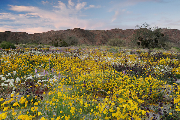 Parish's Gold Poppy (Eschscholzia parishii), Chia (Salvia columbariae), Brown-eyed Primrose, (Camissonia claviformis),Arizona lupine (Lupinus arizonicus),  Joshua Tree National Park, California, USA