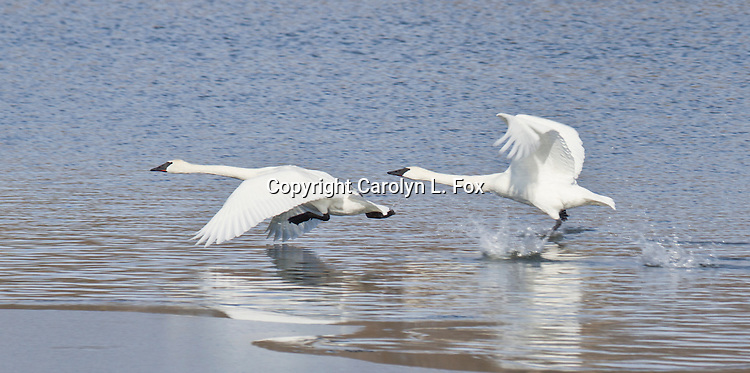 Trumpeter swans take off from Lake Remembrance in Blue Springs, Missouri.