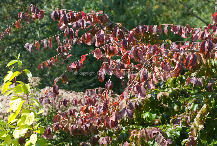 Parrotia persica tree showing red leaves, branches