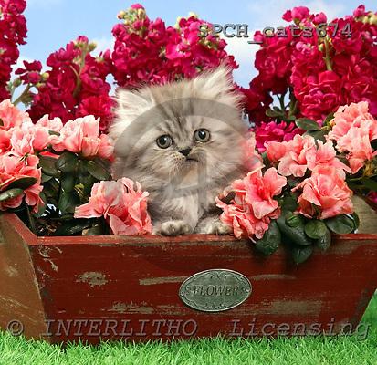 Xavier, ANIMALS, cats, photos, SPCHCATS674,#A# Katzen, gatos