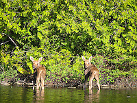"""""""Minnesota Twins""""<br /> <br /> While on a Spring morning paddle, we came upon a cow moose and her young calves in the Boundary Waters Canoe Area Wilderness (BWCA). We sat in the canoe for quite some time observing them, fascinated by their interactions and behaviors."""