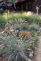 Fetuca glauca, blue fescue grass flowering by path in backyard meadow garden - Barbata garden, Walnut Creek, California